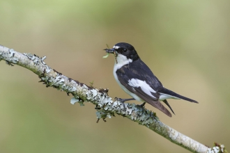Pied flycatcher male
