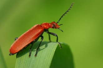 Red-headed Cardinal Beetle