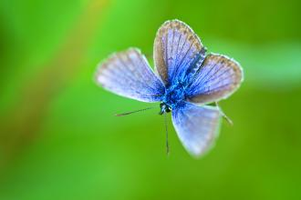 Silver studded blue butterfly