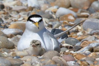 Little tern with chick