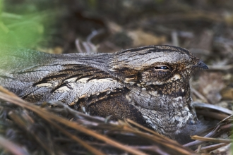 Nightjar adult brooding chicks