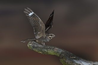 Nightjar adult male alighting on song perch