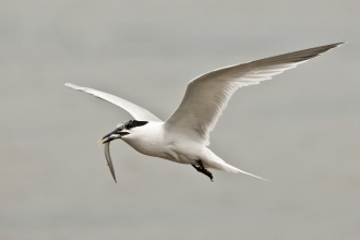 Sandwich tern flying with eel to nes