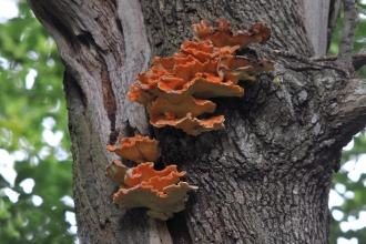 Chicken of the woods fungi