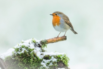 robin in snow - Jon Hawkins - surrey hills photography