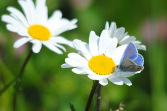 Common blue butterfly on oxeye daisy (c) Amy Lewis