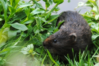 Water vole, Amy Lewis