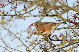 Redwing feeding on hawthorn berries in winter hedgerow