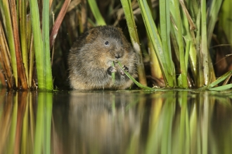 Water vole_Terry Whittaker2020VISION