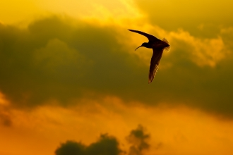 Curlew flying against a dawn sky_ Ben Hall- 2020vision.