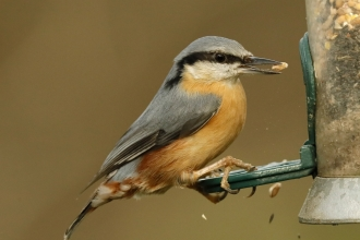 Nuthatch at feeder on Spinnies Aberogwen nature reserve © Steve Ransome
