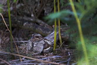 nightjar on a nest _ david Tipling- 2020vision.