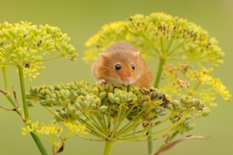 Harvest mouse_Amy Lewis