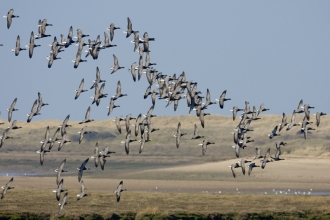 Flock of brent geese over an estuary_ Chris Gomersall- 2020vision.