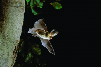 Brown long-eared bat_Hugh Clark