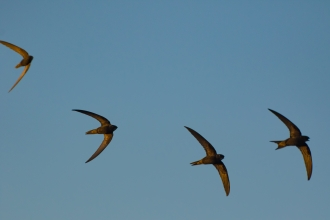 swifts by volunteer Gary Eisenhauer