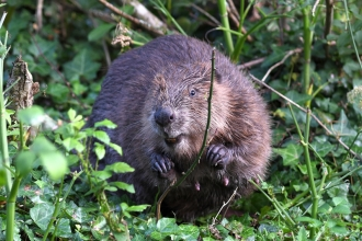 Beaver in vegetation by David Parkyn @cornwall wildlife trust