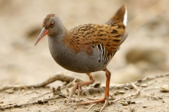 Water rail at Spinnies Aberogwen Nature Reserve