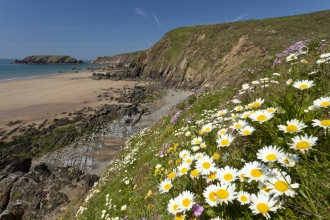 Daisies on a cliff overlooking the sea