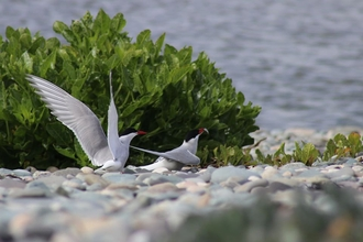 Arctic terns display together as part of courtship