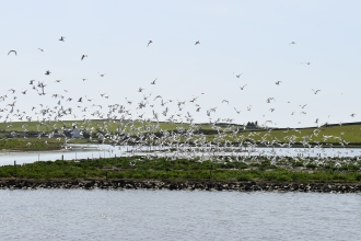 A large flock of terns takes flight at Cemlyn