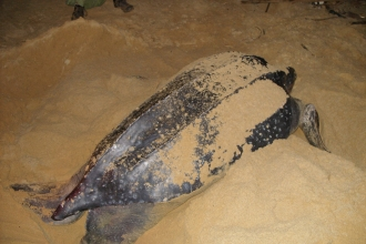 Leatherback female at Matura, Trinidad