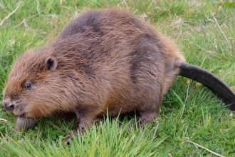 Beaver walking in a grassy meadow