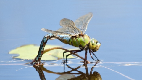 Emperor dragonfly female laying eggs