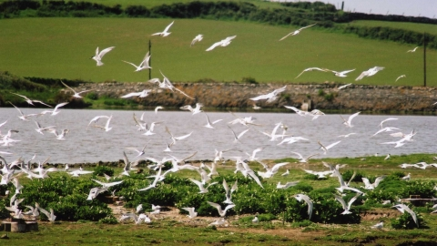 Terns at Cemlyn Nature Reserve
