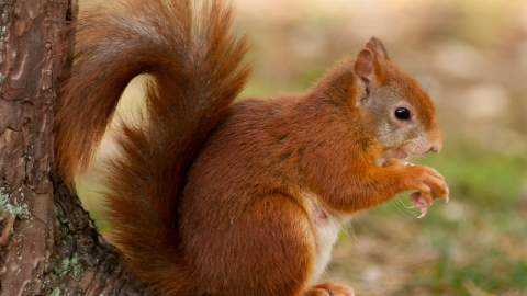 Red squirrel - Mike Snelle