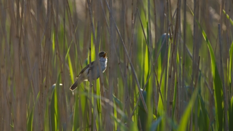 Reed warbler in fens, David Tipling - 2020 Vision