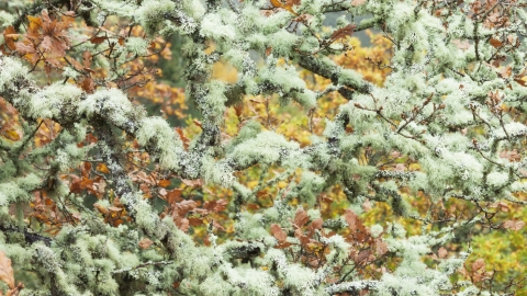 Lichen covered branches in canopy of oak woodland_Guy Edwardes 2020Vision