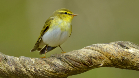 Wood warbler (c) Andy Rouse2020VISION