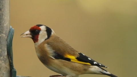 Goldfinch at feeder on Spinnies Aberogwen nature reserve © Steve Ransome