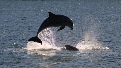 Dolphins breaching_Sarah_Perry