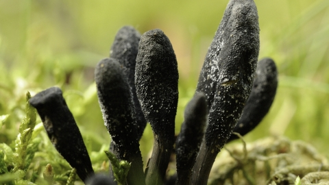 Earth tongue