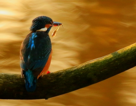 Kingfisher at SpinniesAberogwen Nature Reserve