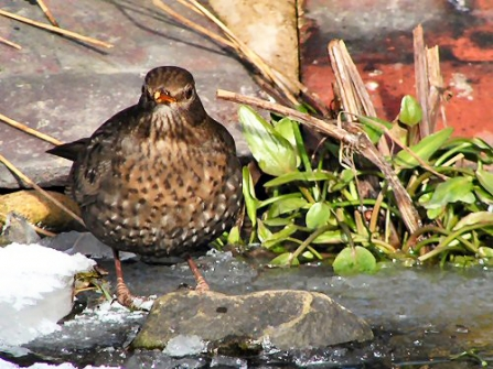 Female blackbird drinking at garden pond