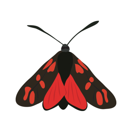 Six spot burnet moth illustration