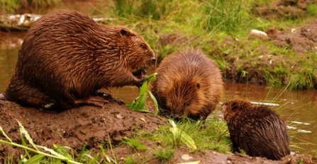 Beaver family - Jeremy Usher Smith