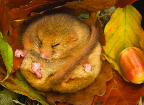 Hibernating dormouse