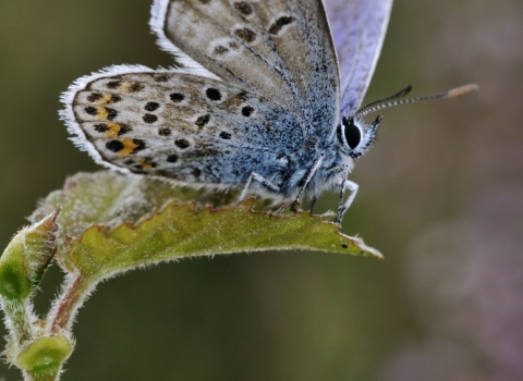 Silver-studded blue butterfly