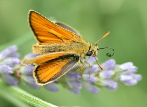 Small skipper (c) Jim Higham