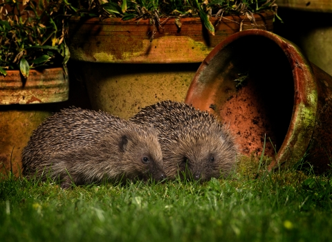 Hedgehogs_Jon Hawkins - Surrey Hills Photography.jpg