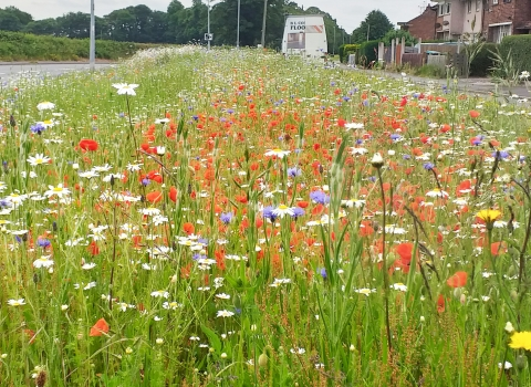 Wildflower meadow on the Wrexham Industrial Estate Living Landscape project