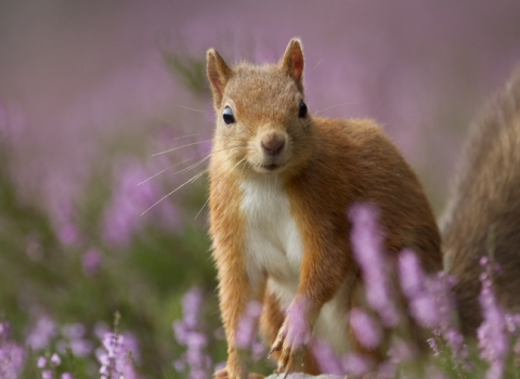 Red Squirrel: Peter Cairns 2020 Vision