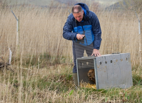 Beaver release at Cors Dyfi Nature Reserve by Iolo Williams